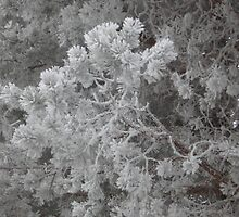 Hoarfrost on the Pines by BagLady