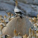 Gannet Kingdom by naturalnomad