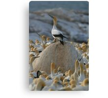 Gannet Kingdom Canvas Print