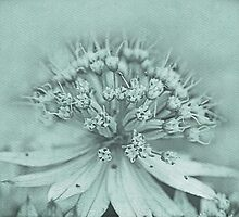 Astrantia by RosiLorz