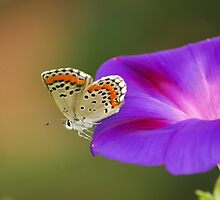 butterfly loves flower  by davvi