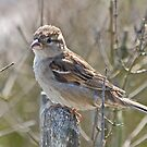 House Sparrow by dilouise