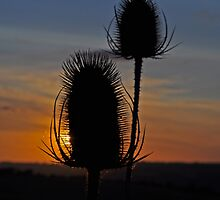 Thistle by blindluck