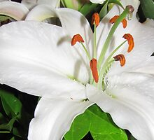 White Lily by Nicki Baker