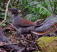 Superb Lyrebird by Warren  Patten