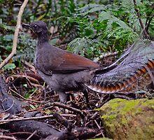 Superb Lyrebird by Warren  Patten
