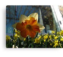 Daffodil aura Canvas Print