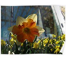 Daffodil aura Poster