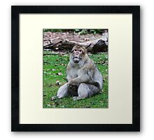 Will my Prayed be answered ( Barbary Monkey) Framed Print