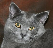 Awesome Chartreux by felinefriends