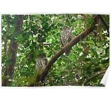Barking owls Poster
