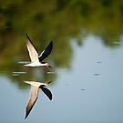 Black Skimmer Morning by Joe Jennelle