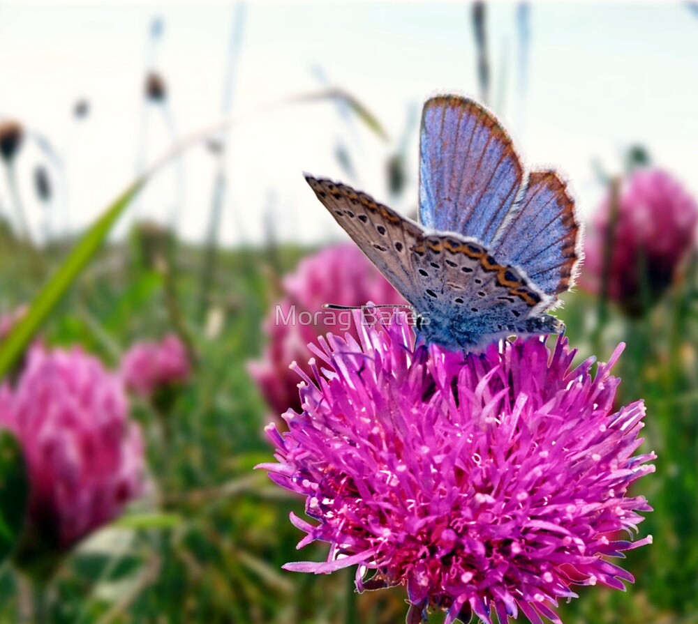 Butterfly & Clover by Morag Bates