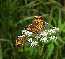 Orange and Black Butterflies on Queen Anne's Lace by Deb Fedeler
