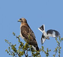 Hawk and Mockingbird by photosbyjoe