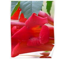 scarlet trumpet flowers Poster