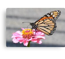 Monarch on a zinnia Canvas Print