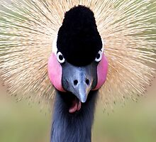 West African Crowned Crane by Janet Fikar