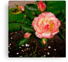 Rose's grow on you! Canvas Print