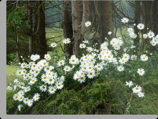 Sheltering daisies. by Fara
