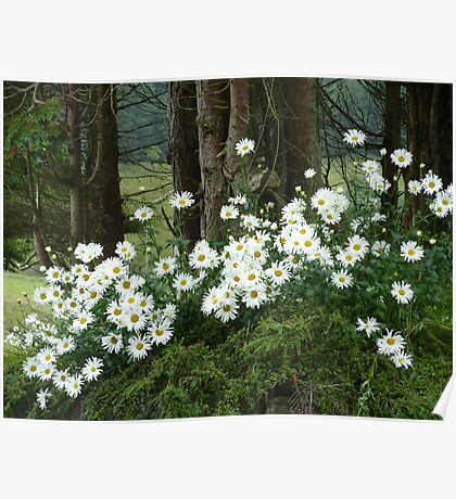 Sheltering daisies. Poster