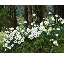 Sheltering daisies. Photographic Print