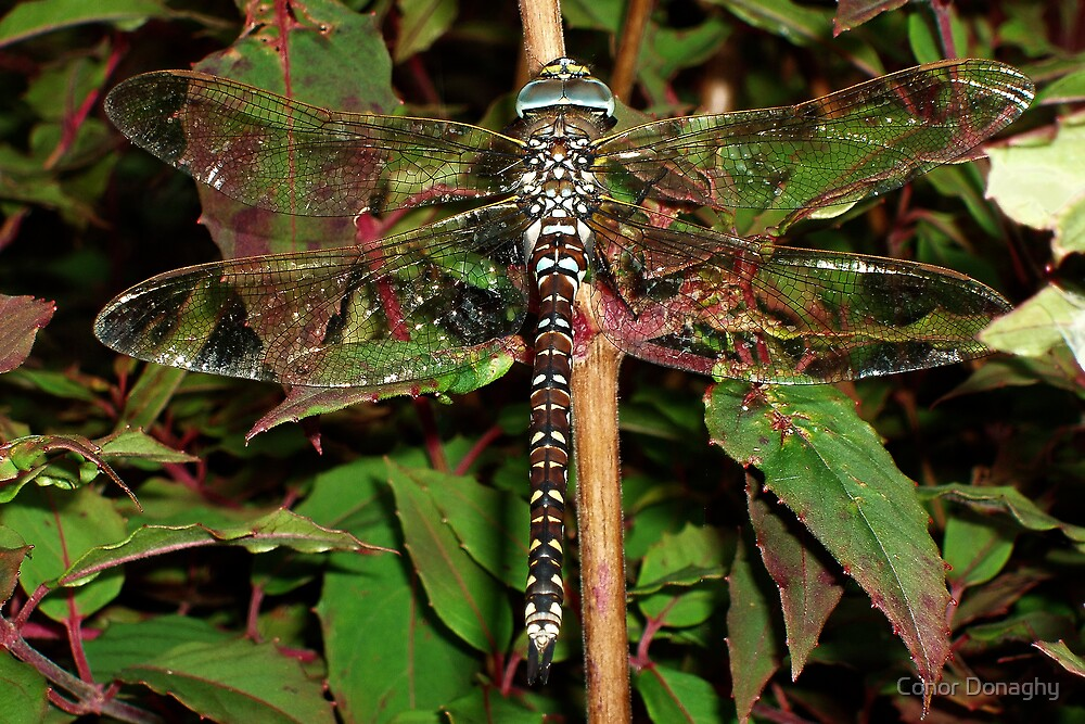 Common Hawker - Dragonfly at rest by Conor Donaghy