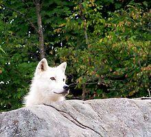 Arctic Wolf by Pierre Frigon