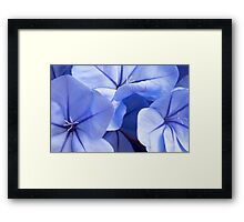 Plumbago's Beautiful Blues Framed Print