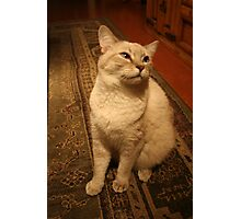 Furry Colorpoint Shorthair Photographic Print