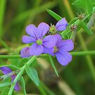 Delicate Winged Loosestrife  by lorilee