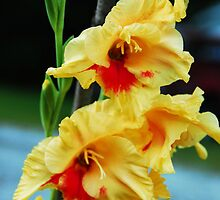 Gladiola by WarrenMangione