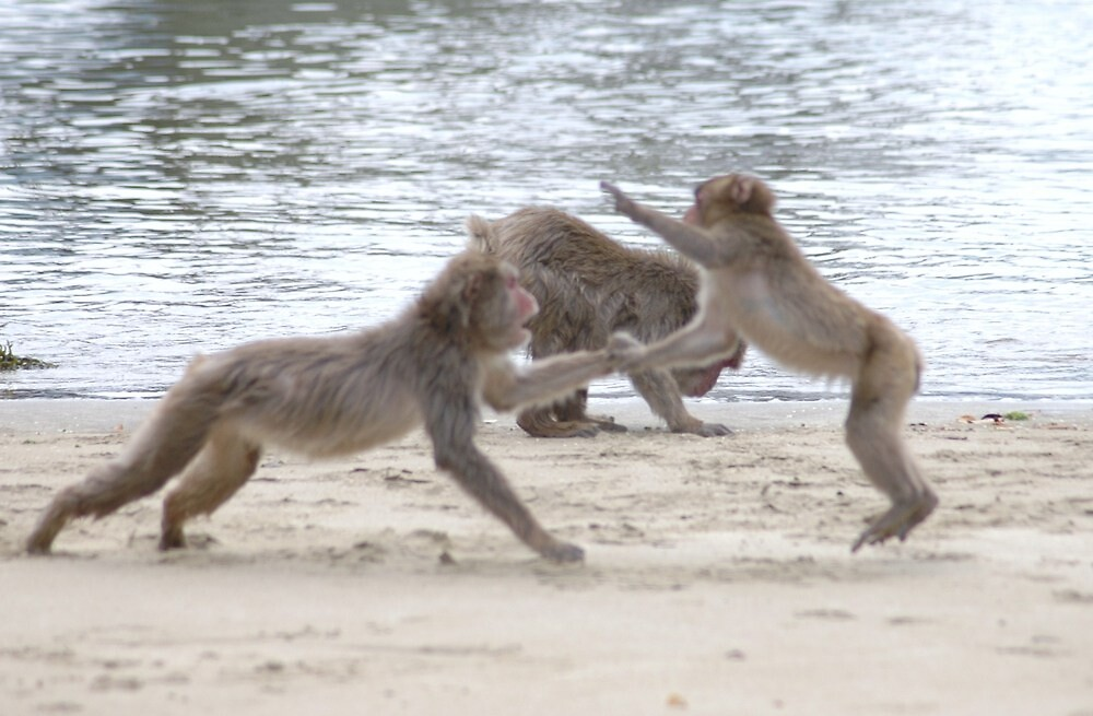 Monkeys Fighting on Kojima Island  by Sunny Shaffner
