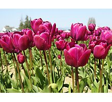 Tulip Time in the Spring Photographic Print