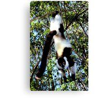 Back & White Ruffed Lemur Just Hanging Around #2, Madagascar  Canvas Print