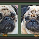 Pretty Great Looking Pugs! by Carol Clifford