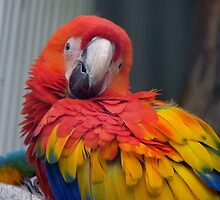 I Promise...I Haven't Seen Bob At All...- Macaw - NZ by AndreaEL