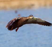 Pacific Black Duck by shortshooter-Al