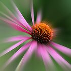 Echinacea by Marilyn O'Loughlin