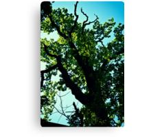 Oak Tree up in Toompea. Tallinn. Canvas Print