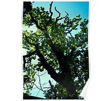 Oak Tree up in Toompea. Tallinn. Poster