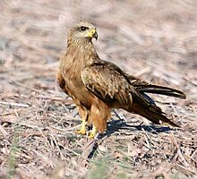 Black Kite by Tanya Rossi