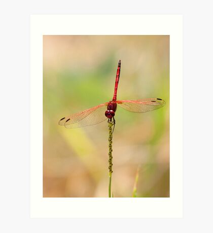 Red-veined Dropwing Art Print
