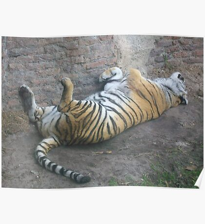 Sleeping Tiger Poster