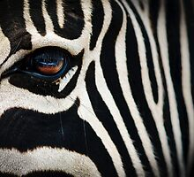 Zebra. by mumblebug