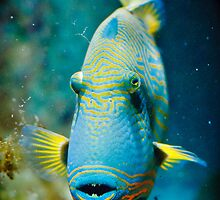Trigger Fish by mumblebug