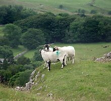 Sheep above Chapel Le Dale in Yorkshire by Jackie Wilson
