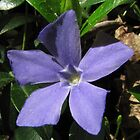 Periwinkle (Vinca Minor) by hummingbirds