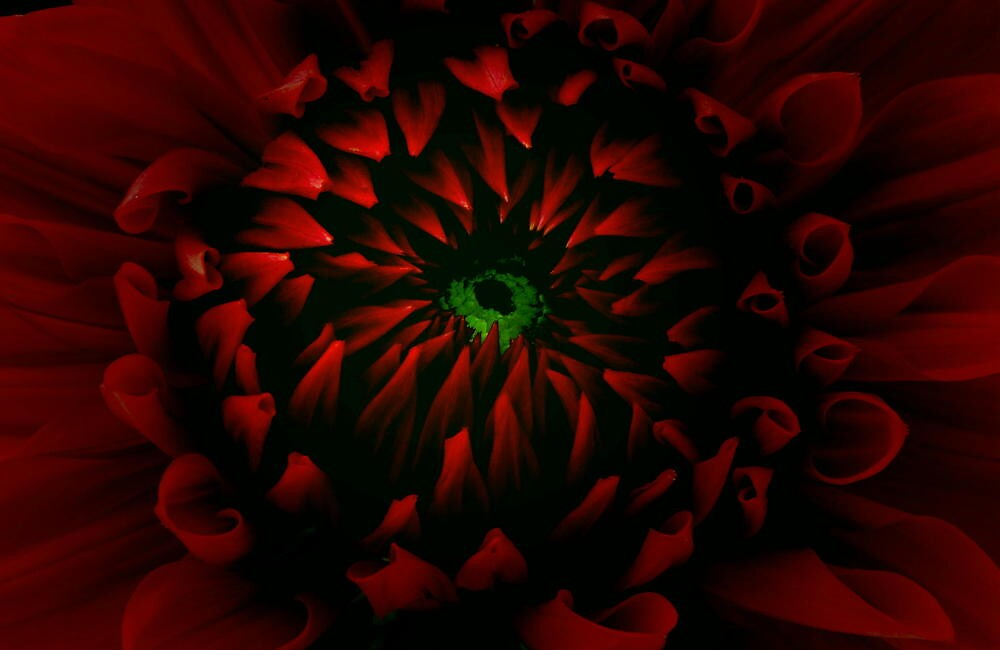 GREEN EYED DAHLIA by RoseMarie747