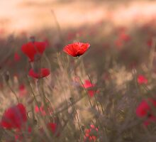 Red Poppies by simpsonvisuals